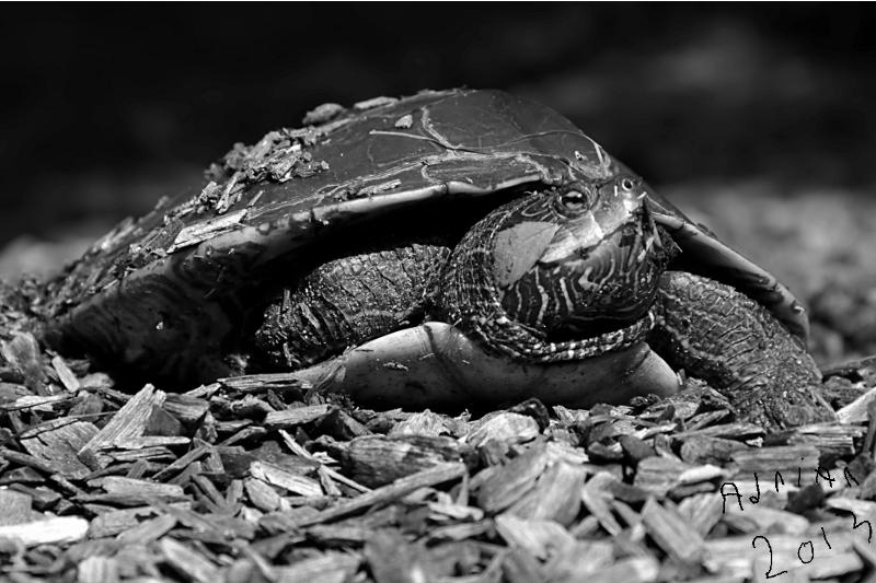 Tommie Turtle